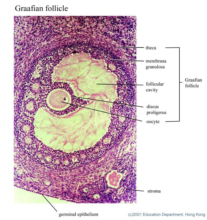 Mammalian organs and tissues  Mammalian organ...