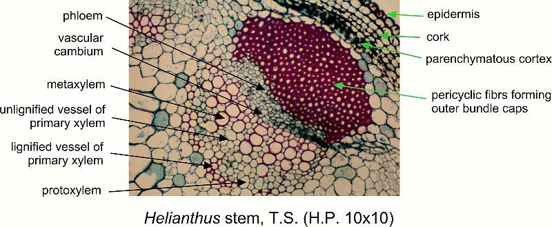 slidedrawing/helianthus_stem_ts_hp